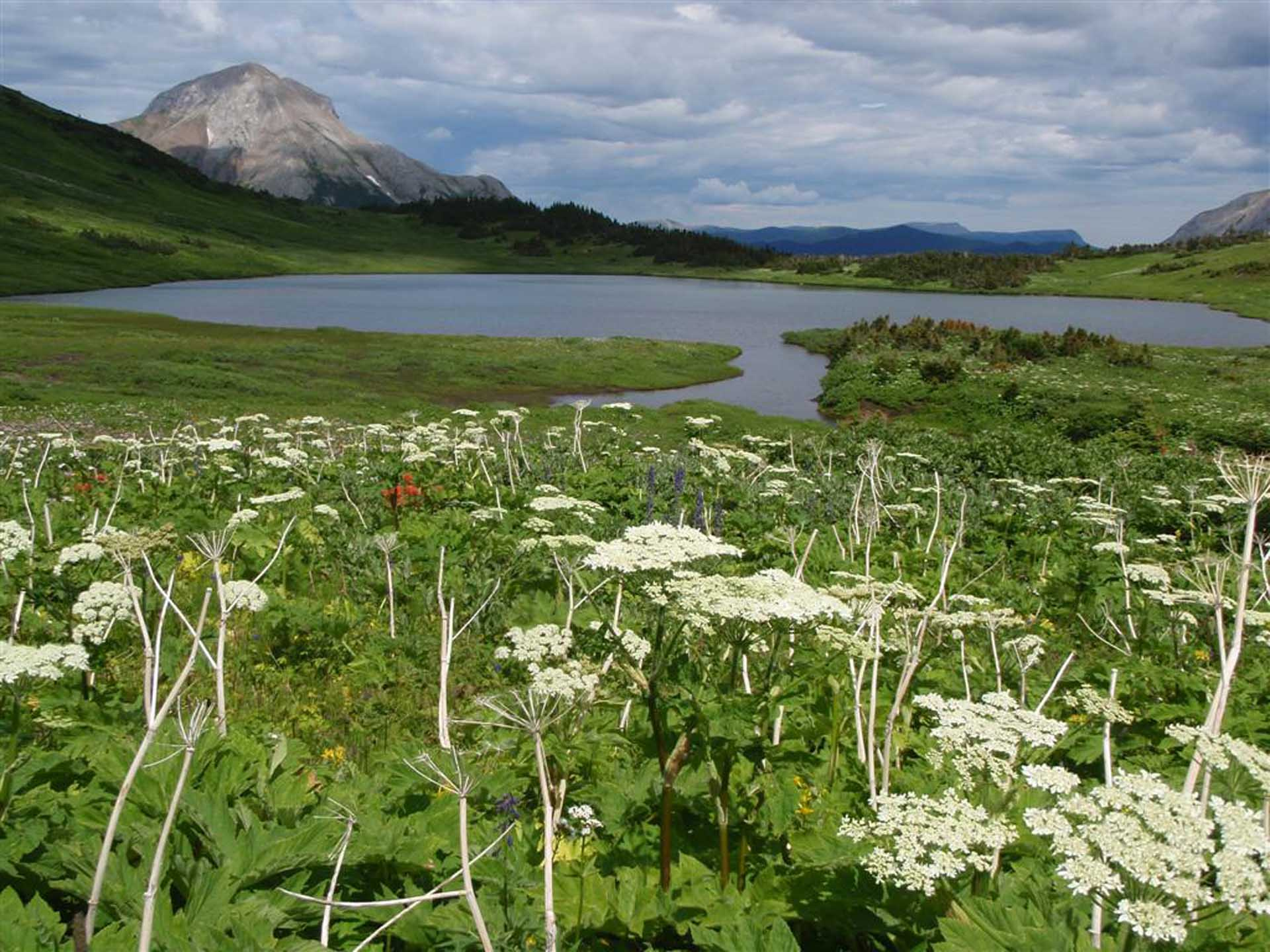 Alpine Flower at Windfall Lake